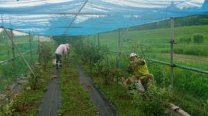ブルーベリーの収穫に行ってきました