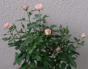 バラ咲いちゃった