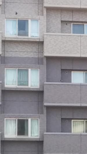 向かいのマンションから監視する親鳥