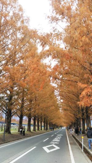 見頃を過ぎたマキノ高原のメタセコイア並木